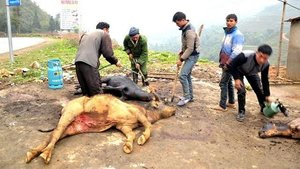 Dead buffalos due to cold weather in Vietnam