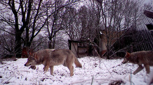 chernobyl wildlife