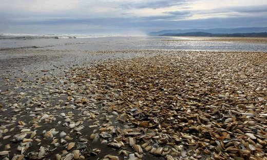 Mass clams dead in Chile