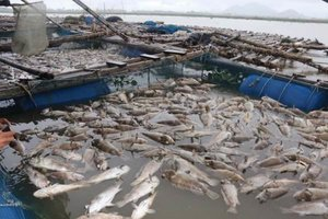 Mass fish kill in Ha Tinh, Vietnam