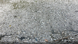 Mass fish kill in West Lake, Hanoi, Vietnam