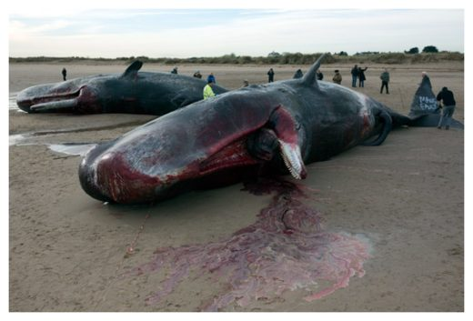 Beached Whales Sperm whales stranded at Skegness on England's North Sea coast in January 2016.