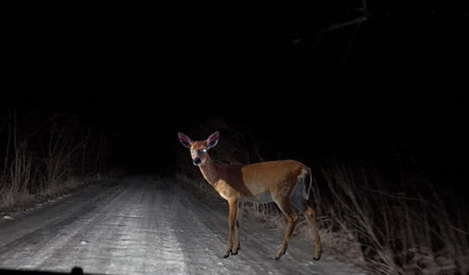 Deer in the headlight
