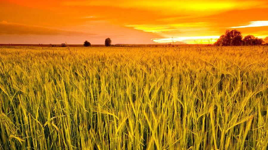 Giá lúa mì Nga giảm tuần thứ 3 liên tiếp